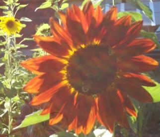 Chianti Sunflower
