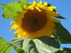 Russian Mammoth Sunflower 10' tall