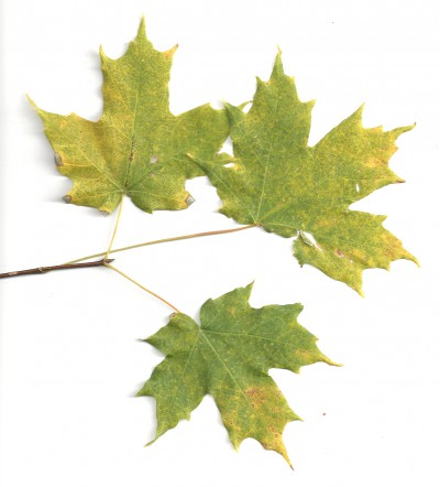 The sugar maple or Acer saccharum