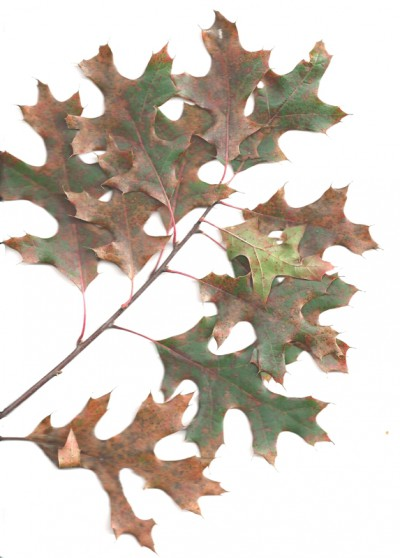 The Northern Red Oak or Quercus borealis