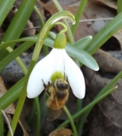Honey bee on snowdrop