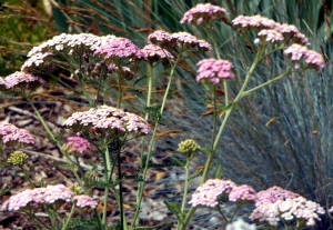 Pink Achillea x 'Summer Berries'