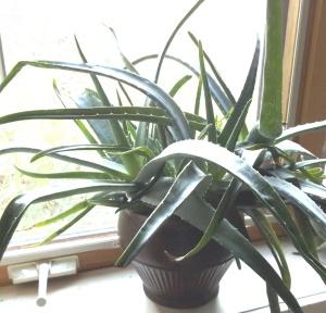 Photo Aloe vera
