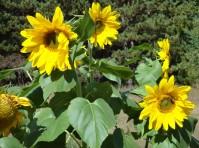 Sun in bloom