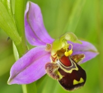 orchid photo Ophrys apifera