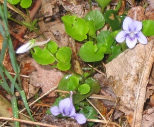 long spurred violet - native wildflower