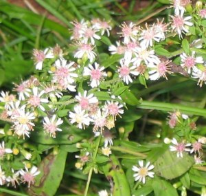 Photo Calico Aster