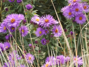 Photo Aster cultivar 'Purple Dome'