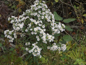 Photo Panicled Aster?
