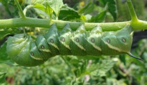 Photo of tomato hornworm