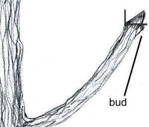 prune above bud